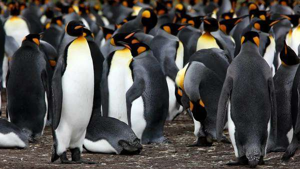 Stanley, Falkland Islands. A colony of King penguins stands close together. Credit as: Josh Anon / Jaynes Gallery / DanitaDelimont.com Rights-managed stock video