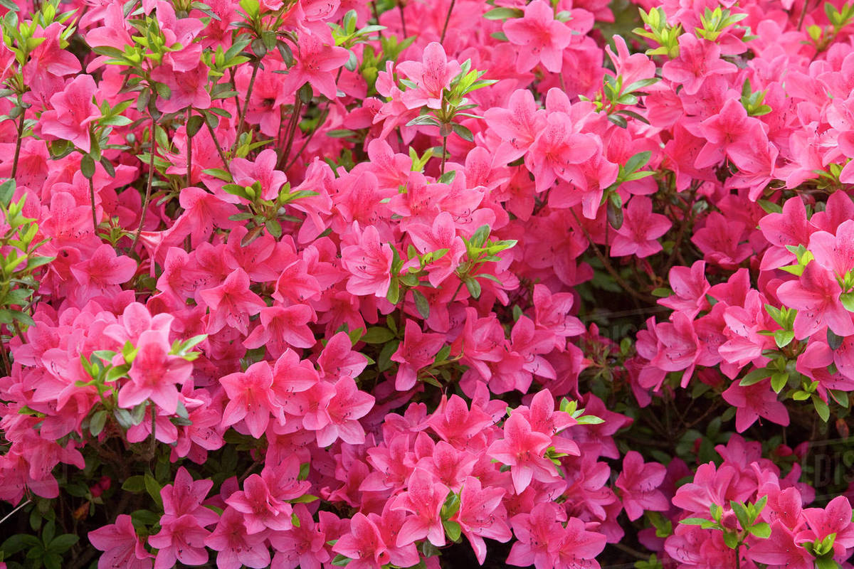A Bush Of Pink Flowers In Bloom Stock Photo Dissolve