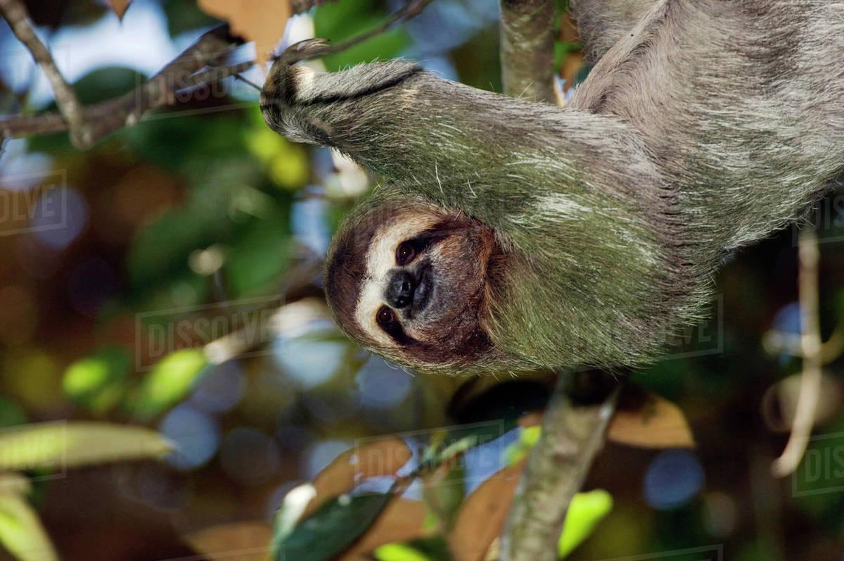 Brown Throated Three Toed Sloth Bradypus Variegatus Male Manuel