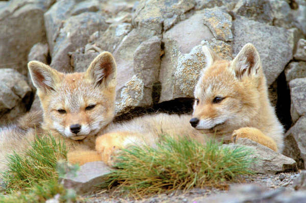 South America, Chile, Torres del Paine National Park. Patagonia Fox Royalty-free stock photo
