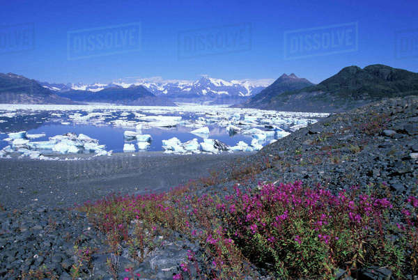 USA, Alaska, Prince William Sound, Chugach Mountains, Dwarf fireweed on a moraine, icebergs of Columbia Bay Royalty-free stock photo
