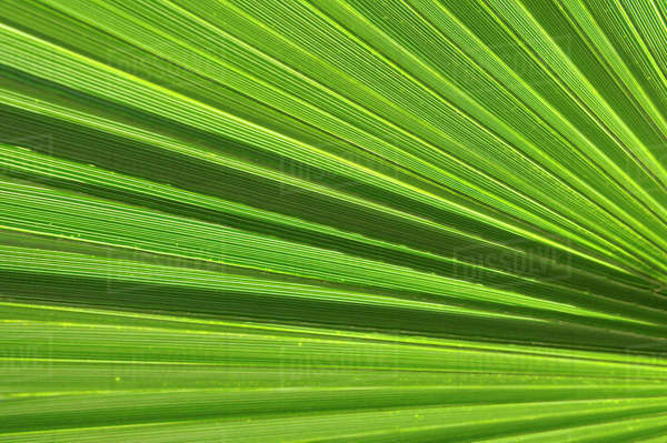 USA, California, Palm Springs, Indian Canyons. Washingtonia filifera (California Fan Palm) frond Royalty-free stock photo