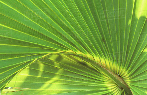 Cabbage Palmetto, Naples, FL, USA Royalty-free stock photo