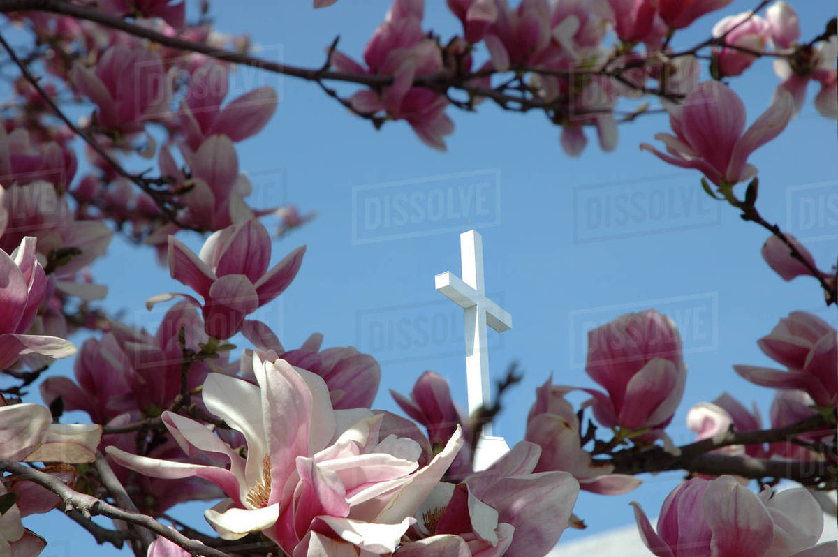 Massachusetts Reading Pink Magnolia Tree And Church Steeple Stock Photo