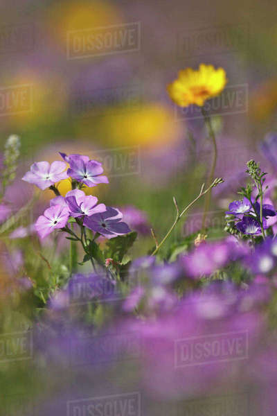 Roadside wildflowers in Texas, spring Royalty-free stock photo