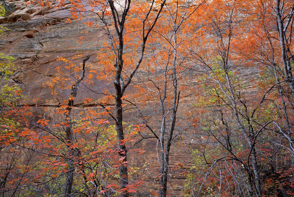 Fall color in Zion National Park, Utah. Royalty-free stock photo