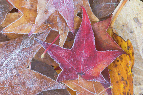 Frost on Autumn Leaves, WA, USA Royalty-free stock photo
