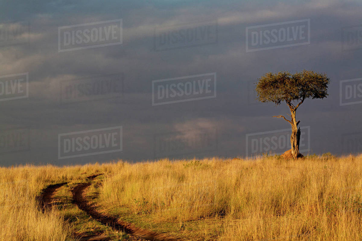 Primitive Road And Single Umbrella Thorn Acacia Tree At Sunset