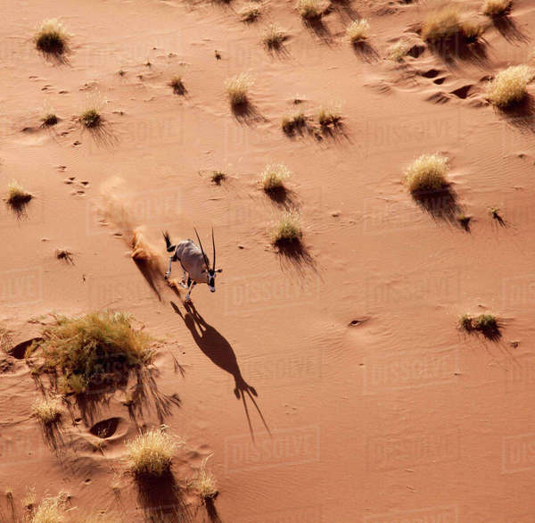 Namibia, Namib-Naukluft Park, Sossusvlei. Aerial view of running oryx and shadow. Rights-managed stock photo