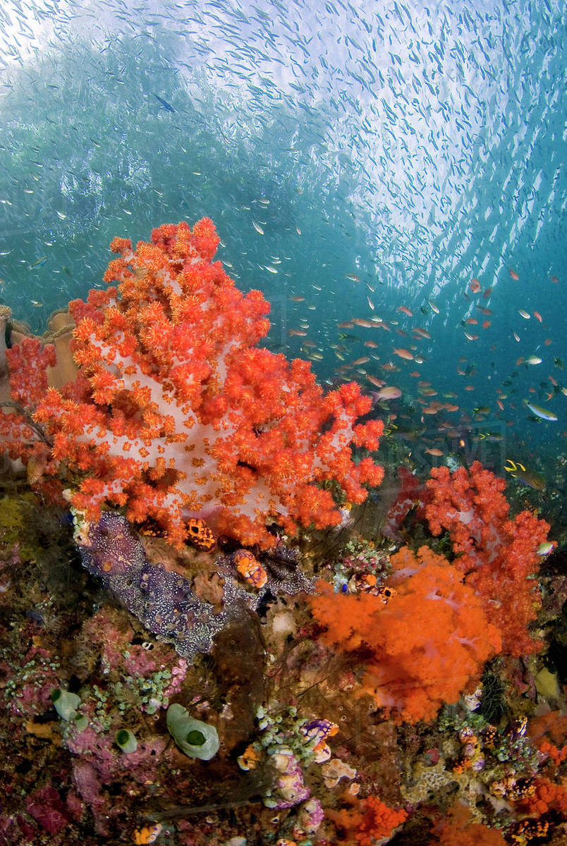 Schooling fish swim past colorful corals, Triton Bay, Papua ...