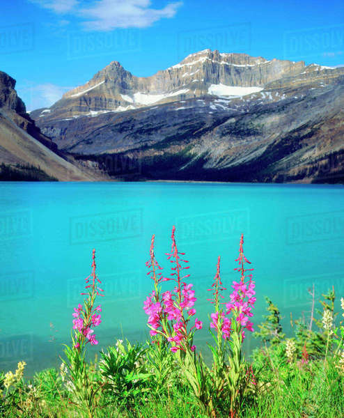 Canada, Alberta, Fireweed Wildflowers in Banff National Park. Rights-managed stock photo