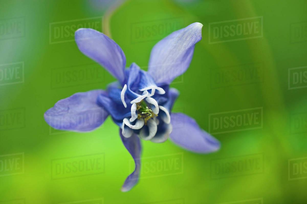 Canada Manitoba Winnipeg Blue Columbine Flower Stock Photo