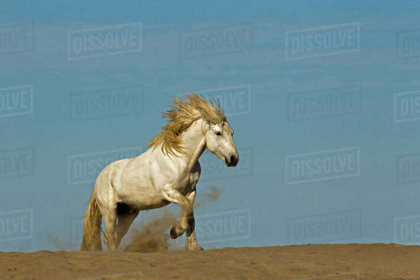 Camargue horse running over beach dune at sunrise, Camargue region of southern, France Rights-managed stock photo
