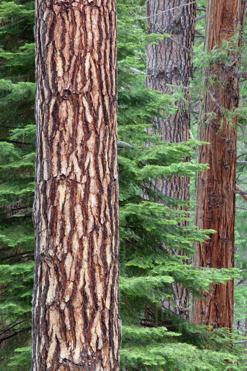 CA, Yosemite National Park, Ponderosa pine and Incense ...