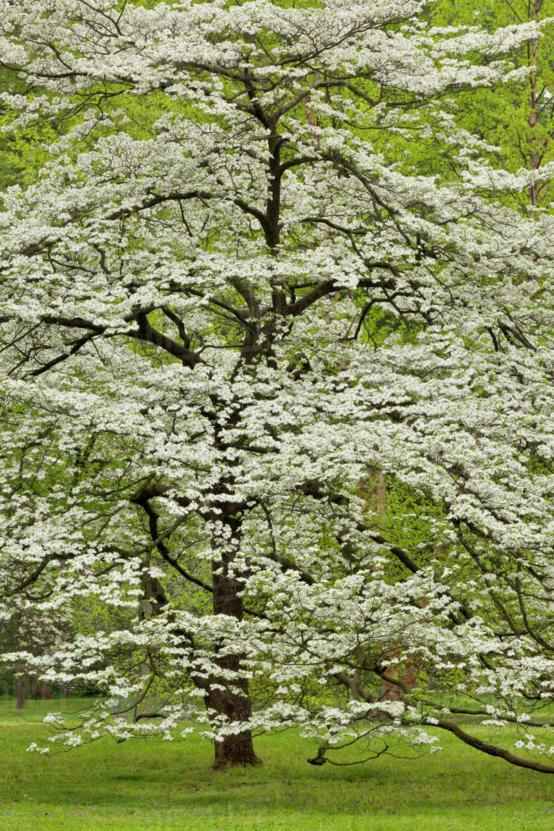 Dogwood Tree In Full Bloom Audubon Park Neighborhood Louisville
