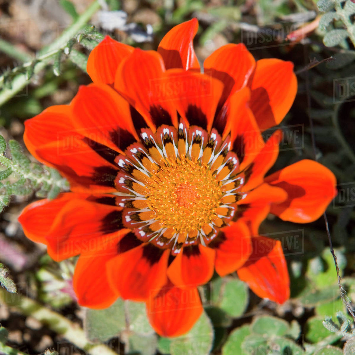Flowers Bloom In The South African Spring In Namaqualand Northern