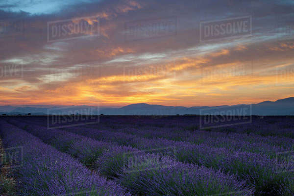 Lavender field Just before dawn near Valensole, Provence, France Rights-managed stock photo