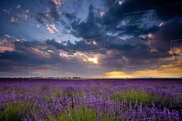 Sunset over lavender fields near Valensole, Provence, France. Rights-managed stock photo