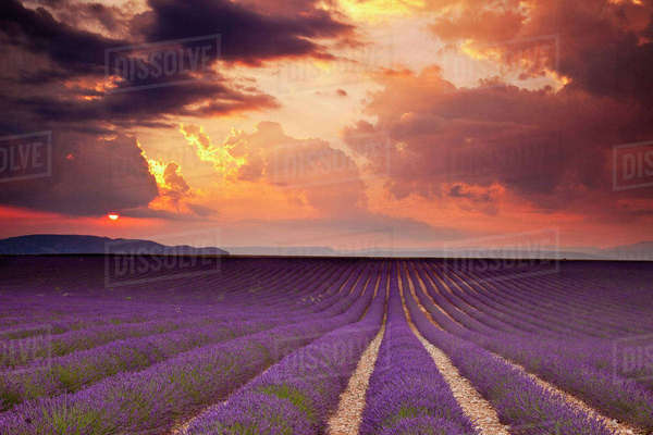 Sunset over Lavender field near Valensole, Provence, France. Rights-managed stock photo