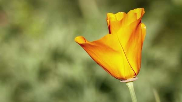 Timelapse video of a California poppy opening in the morning as the sun warms it. Palos Verdes, California Rights-managed stock video