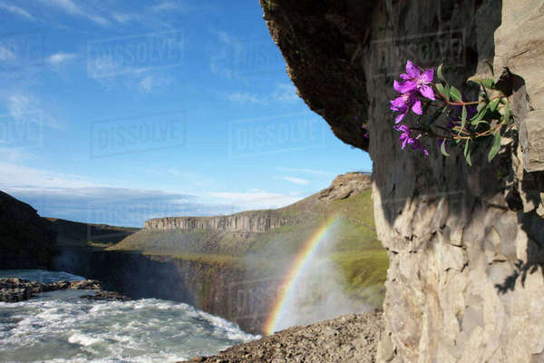 Iceland, Arnessysla County, Fireweed blossom in front of rainbow formed as Hvita River pours over Gullfoss waterfall on summer morning Rights-managed stock photo