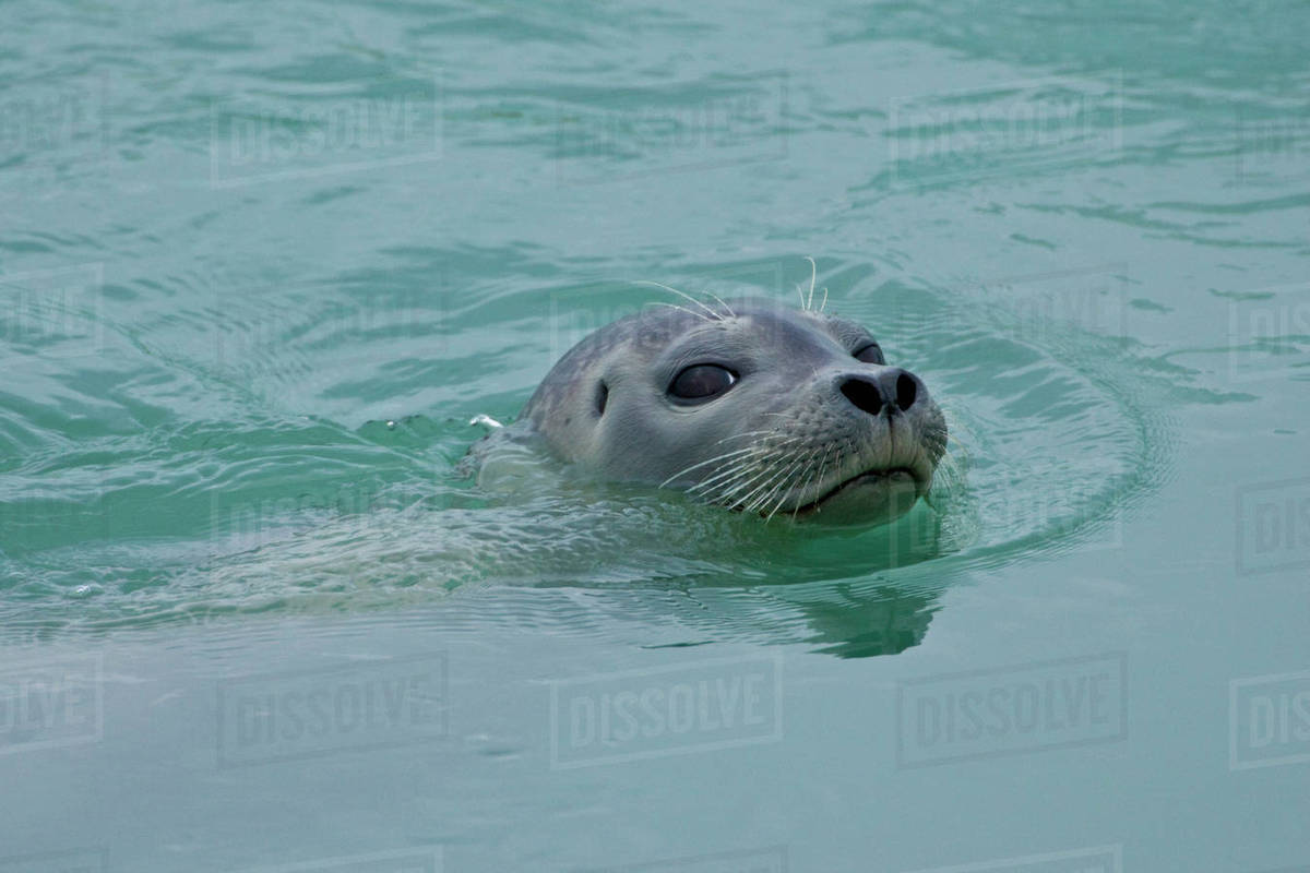 Harbor Seal swimming in Jokulsarlon glacial lake in southern Iceland on seal clip art, seal in the sea, seal animals, seal on land,