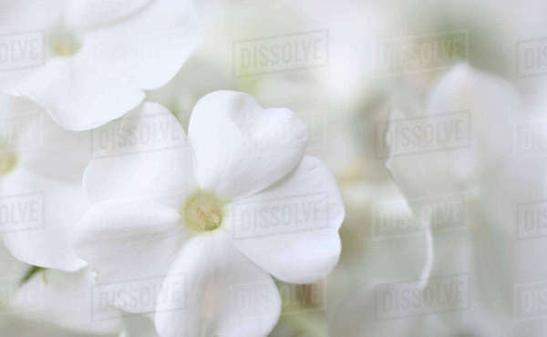 White Phlox Rights-managed stock photo