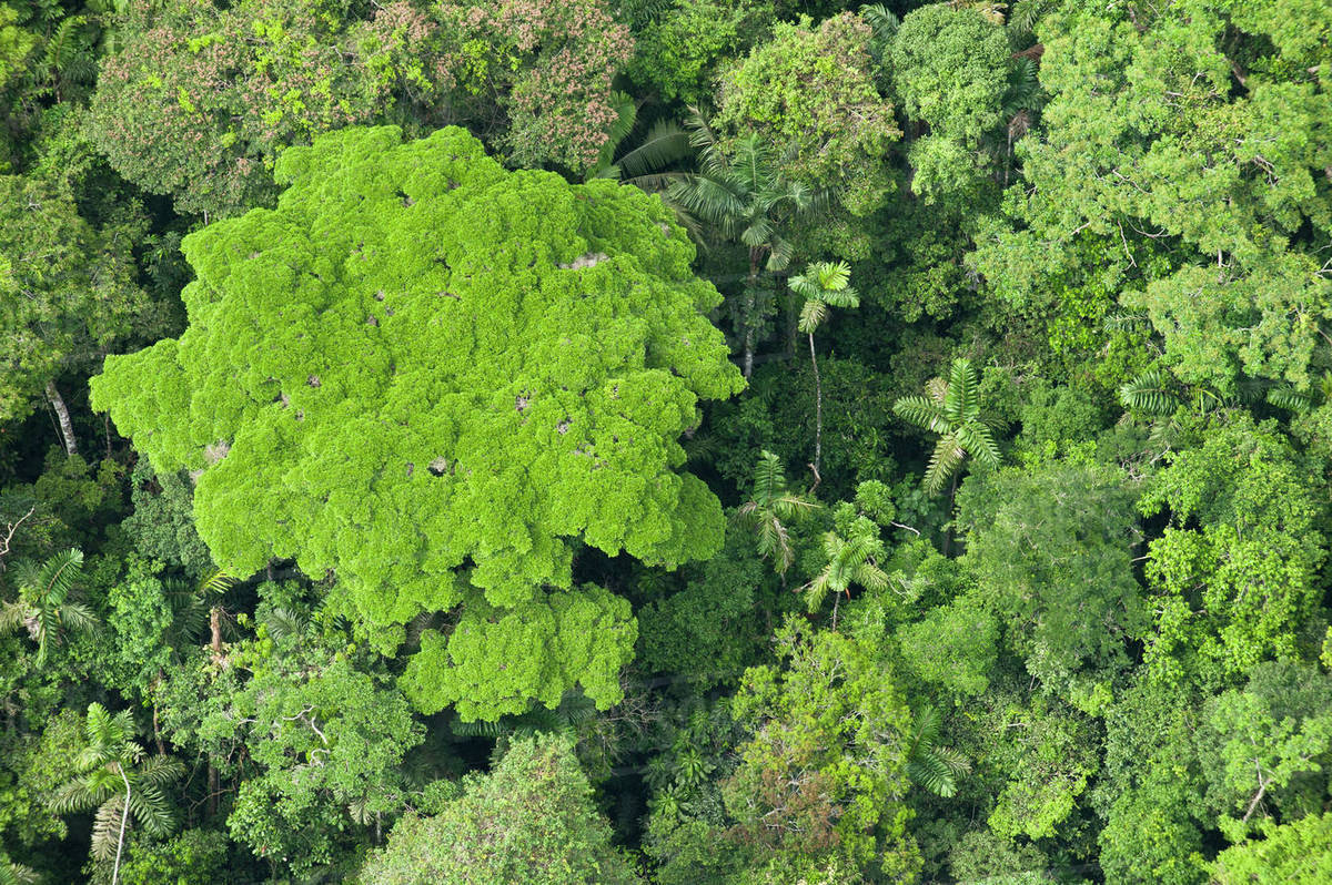 Rainforest Canopy, Yasuni National Park, Amazon Rainforest, Ecuador. South America Rights-managed stock photo