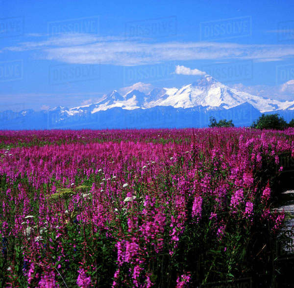 North America, USA, Alaska, Mt. Iliamna and Fireweed from Kenai Peninsula over Cook Inlet Rights-managed stock photo