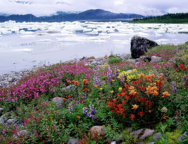 Paintbrush, Lupine, Fireweed. Icebergs Russell Fiord Wilderness Tongass NF, Alaska. Rights-managed stock photo