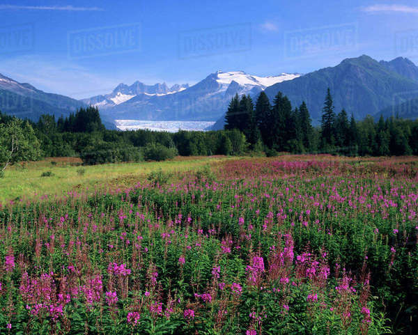 Fireweed in Meadow, Mendenhall Glacier, Tongass National Forest, near Juneau, Alaska Rights-managed stock photo