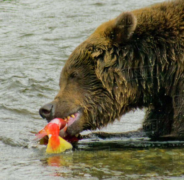 USA, Pacific Northwest, Alaska, Katmai National Park. Grizzly bear enjoying a salmon in the Brooks River. Rights-managed stock photo