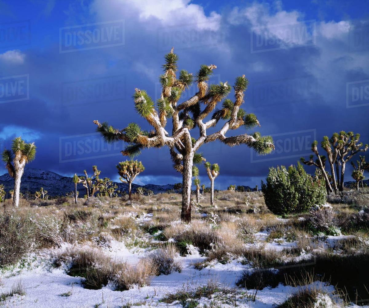 Usa California Snow In Joshua Tree National Park D256 54 657