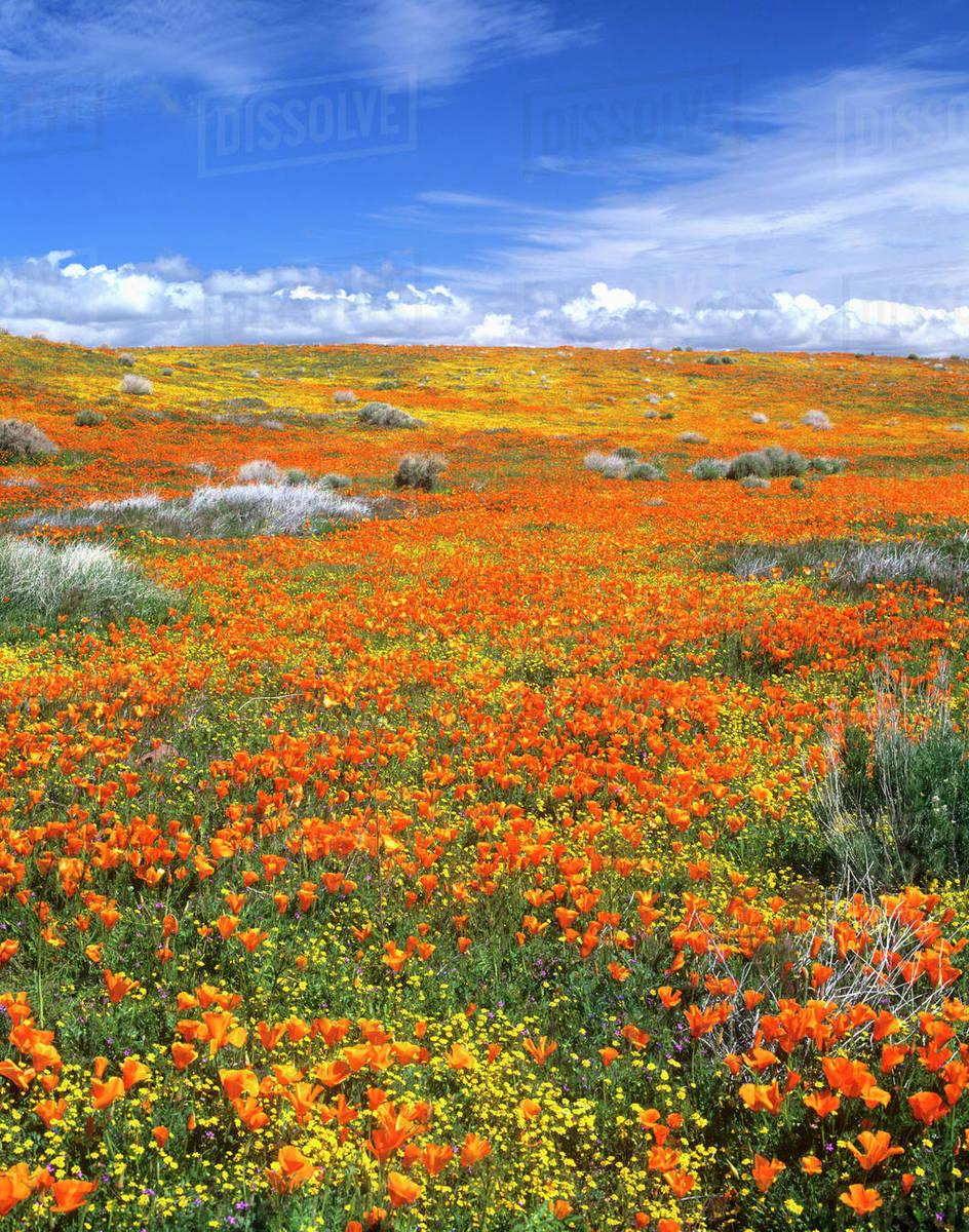 Wildflowers at the California Poppy Reserve near Lancaster, California  stock photo