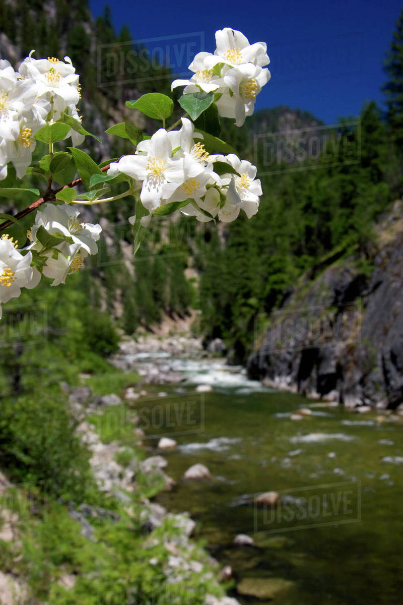 White syringa flowers growing along the East Fork of the South Fork of the Salmon River near Yellow Pine, Idaho.