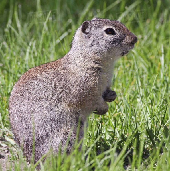 A Belding's ground squirrel on alert at Malheur National Wildlife Refuge, Oregon Rights-managed stock photo