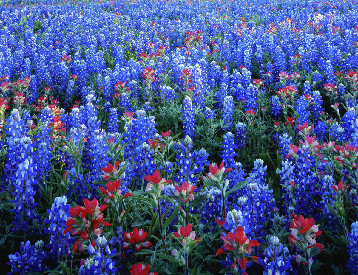 Texas Texas Hill Country Texas Paintbrush And Bluebonnets Flowers
