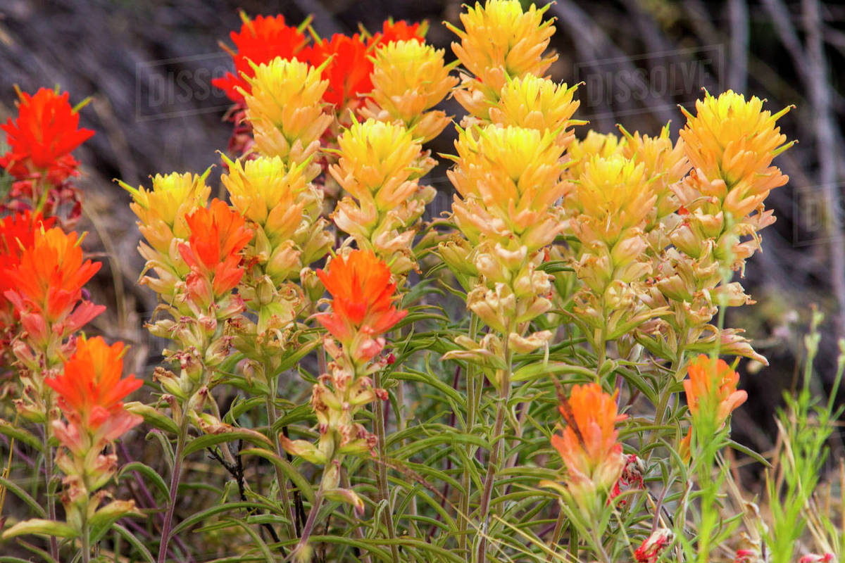 Yellow And Red Paintbrush Wildflowers In Bend National Park Texas
