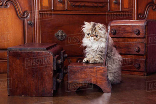Persian Cat, Felis catus, Brown Tabby, Kitten with Doll furniture, Hill Country, Texas, USA Rights-managed stock photo