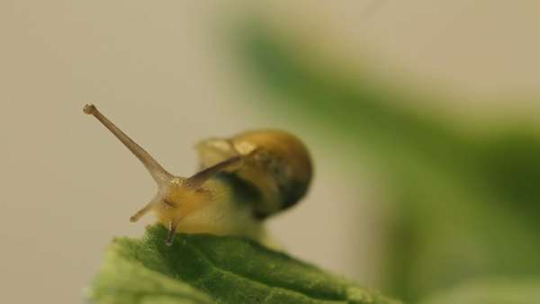 Snail on radish leaves, garden, Los Angeles, California Rights-managed stock video