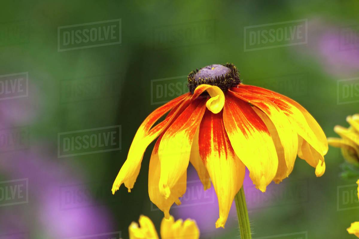 North America Usa Washington Seattle Yellow Cone Flower Stock