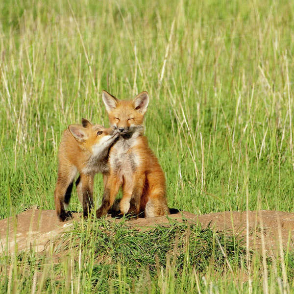 Red Fox (Vulpes Fulva) Kits playing at den near Saratoga, Wyoming Rights-managed stock photo