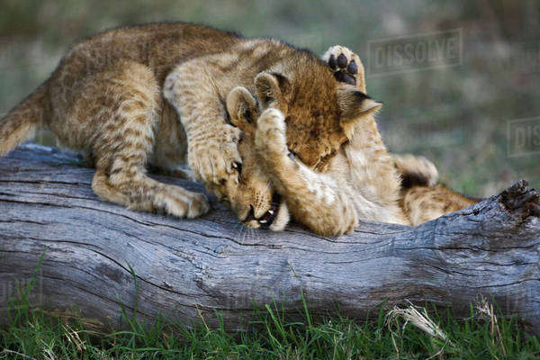 Lion cubs playing on log, Panthera leo, Masai Mara, Kenya Royalty-free stock photo