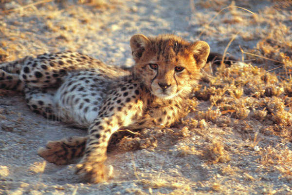 Africa, Kenya, Amboseli National Park. A cheetah cub stares sleepily at the camera in Amboseli National Park, Kenya. Royalty-free stock photo