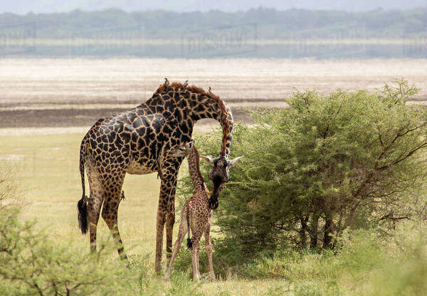 Africa, Tanzania, Lake Manyara National Park. Maasai giraffe (Giraffa camelopardalis tippelskirchi) and calf. This is one of eight subspecies. Note six oxpeckers on leg and neck. Royalty-free stock photo