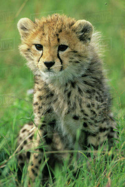 Cheetah, (Acinonyx jubatus), Tanzania, Serengeti National park, portrait of a cheetah cub in the grass. Royalty-free stock photo