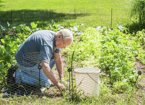 Man tending to vegetable garden Royalty-free stock photo