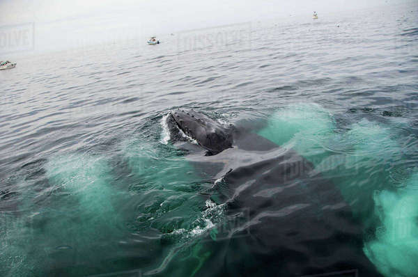 Humpback whale feeding on water surface, Provincetown, Massachusetts, USA Royalty-free stock photo