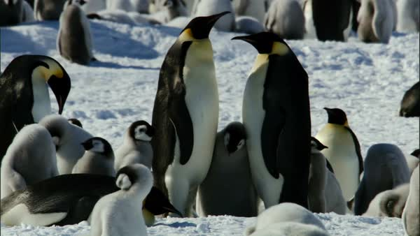 Two emperor penguins (Aptenodytes forsteri) standing with chicks Royalty-free stock video