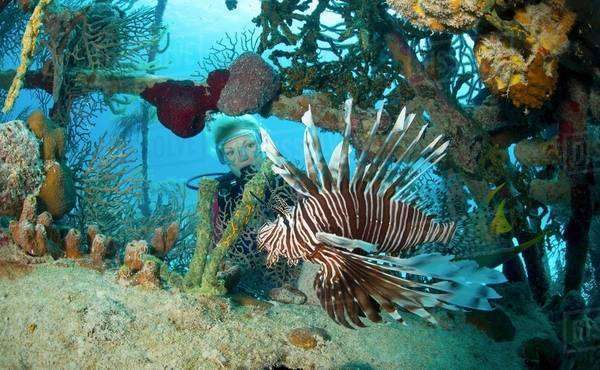 Lionfish in Unnatural Habitat Royalty-free stock photo
